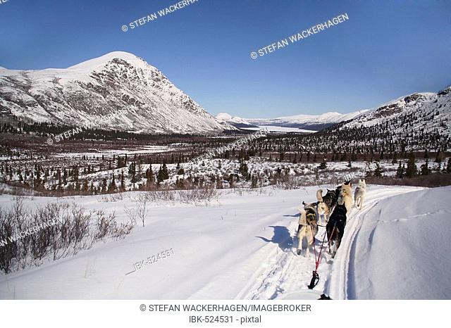 Dog team / sled dogs from musher's perspective, Fish Lake, Yukon Territory, Canada