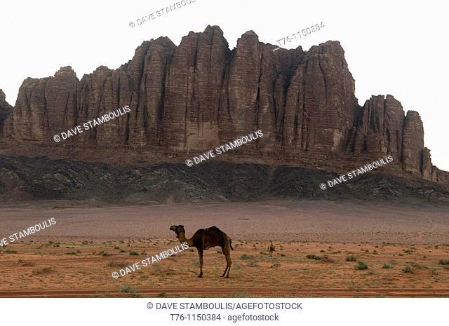 camel in the desert and mountains of Wadi Rum in Jordan