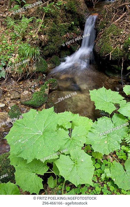 White Butterbur (Petasites albus). National Park Bavarian Forest, Germany