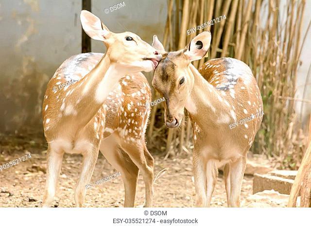 A Eld's Deer closeup take in a zoo