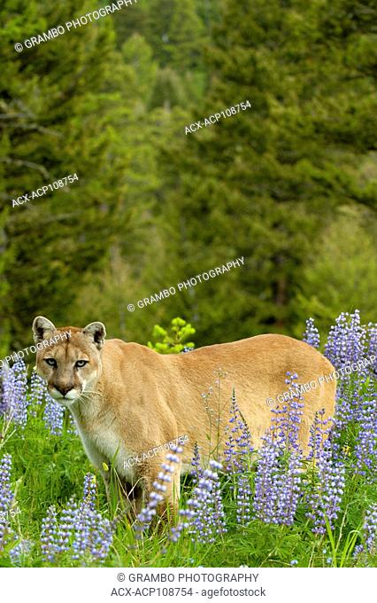 Cougar, Puma concolor, in lupines in spring foothills meadow, Montana, USA
