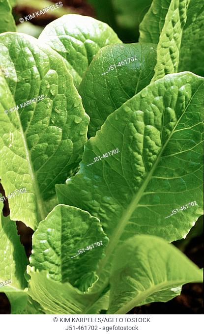Organic romaine lettuce leaves