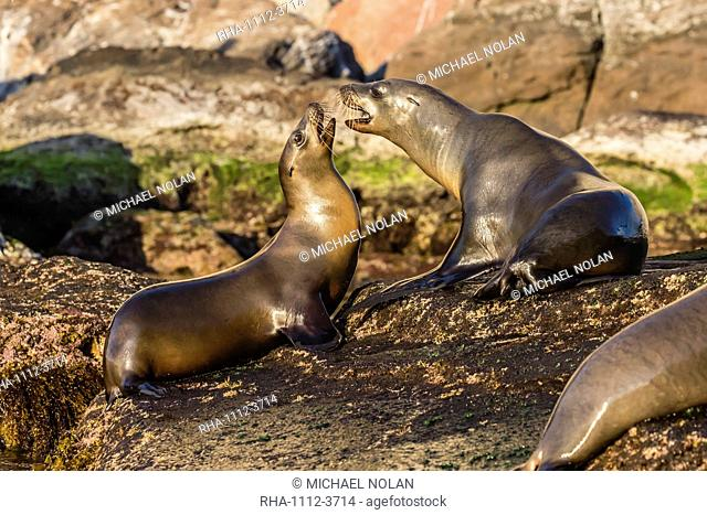 Young California sea lions (Zalophus californianus) mock fighting, Isla San Pedro Martir, Baja California, Mexico, North America
