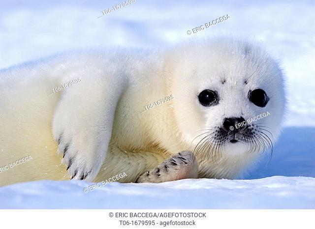Harp seal pup yellowcoat 0 to 3 days old on ice Phoca groenlandicus Magdalen Islands, Quebec, Canada