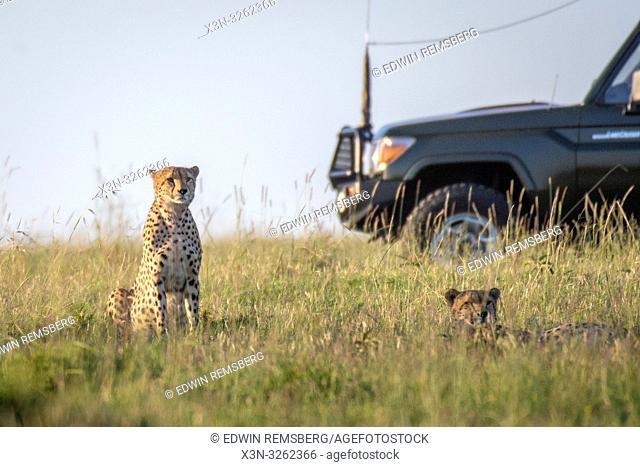 Tourist game viewer surrounding cheetahs Maasai Mara National Reserve, Kenya, Cheetah (Acinonyx jubatus)
