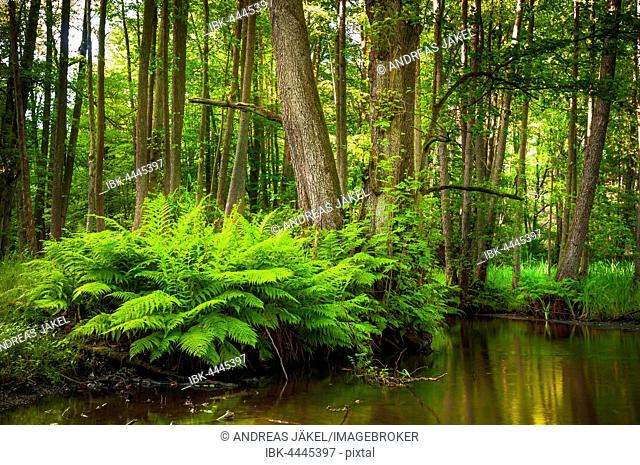 Streambed of The Schlaube River with ferns (Pteridium aquilinum), Schlaube Valley Nature Park, Brandenburg, Germany