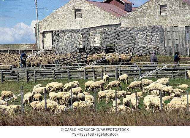 Sheep before and after shearing in an estancia close to Punta Arenas, Patagonia, Chile, South America