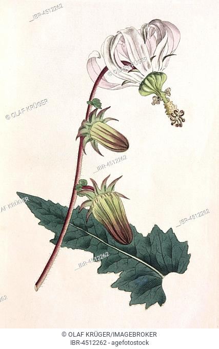 Rough-leaved michauxia (Michauxia campanuloides), hand-colored copper engraving from Sansom from William Curtis Botanical Magazine, London, 1793