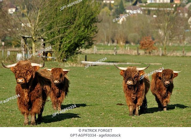 HIGHLAND COW, ORIGINATING FROM SCOTLAND