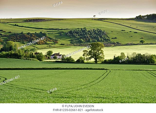 View of cereal fields and pasture on hill, Carhampton, Somerset, England, may