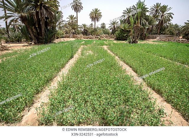 Overview of alfalfa (Medicago sativa) growing in field in Tighmert Oasis, Morocco