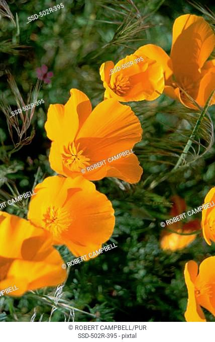Close-up of Golden Poppies, Antelope Valley, California, USA