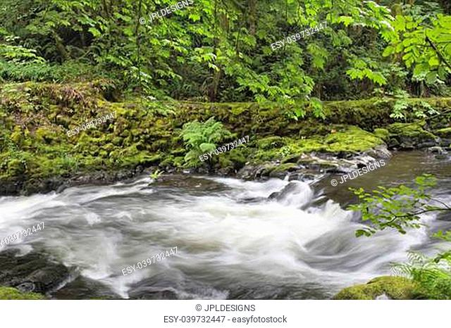 Rushing Water with Trees Moss Ferns and Rocks at Cedar Creek Washington State