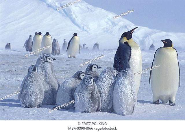 Emperor-penguins, Aptenodytes forsteri