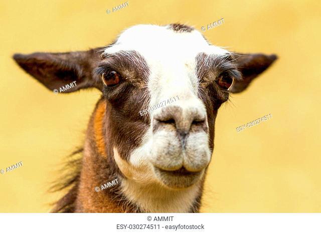 Isolated Headshot Of An Adult Female Lama Glama