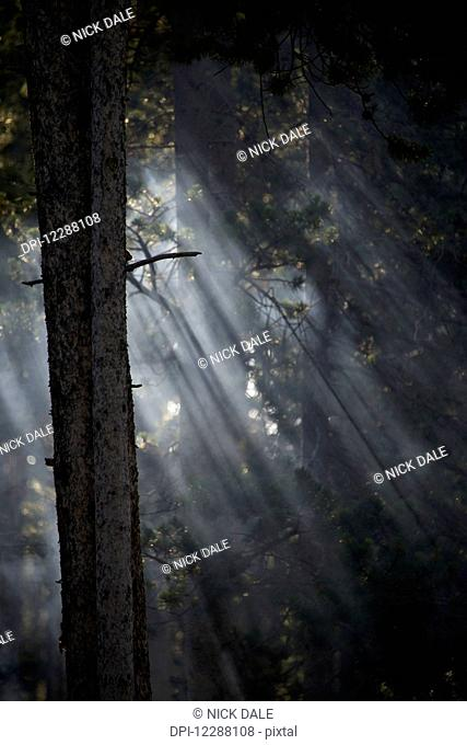 Smoky sunlight filtering through the trees in a forest, Yellowstone National Park; Wyoming, United States of America