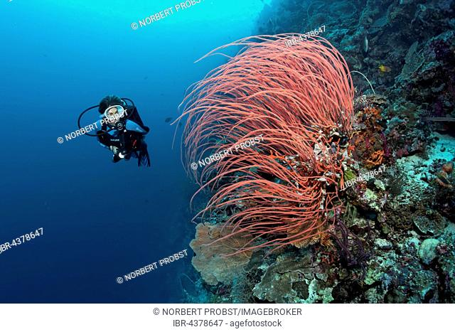 Diver viewing Red Gorgonian, Sea Fan (Ellisella ceratophyta)at steep face of coral reef, Wakatobi Island, Tukangbesi Archipelago, Wakatobi National Park