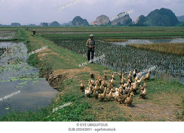 Farmer herding ducks along a path through rice paddies south of hanoi