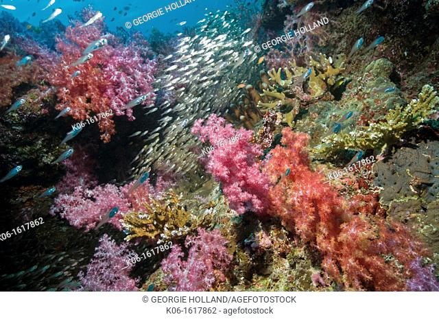 Pygmy sweepers Parapriacanthus ransonetti with soft corals on reef  Thailand, Andaman Sea