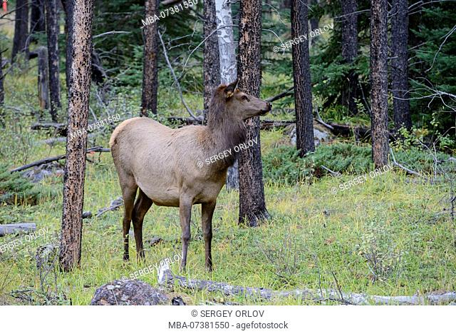 deer, watching, wild animal, Jasper National Park, forest, guarding