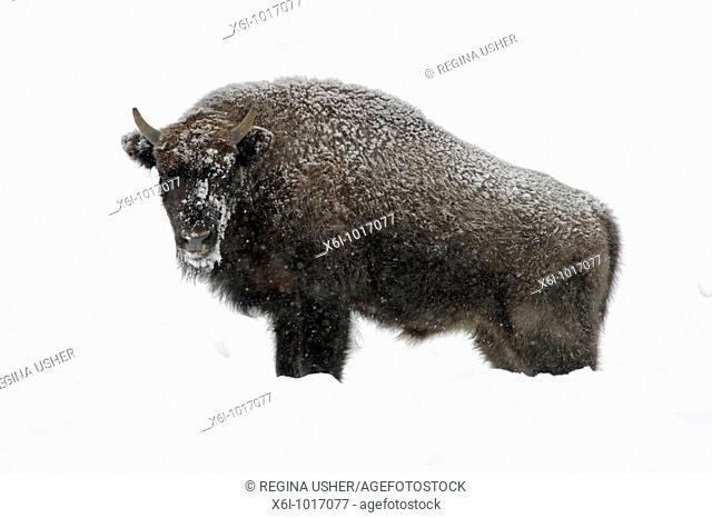 European Bison, Bison bonasus, young bull, covered in snow, Germany