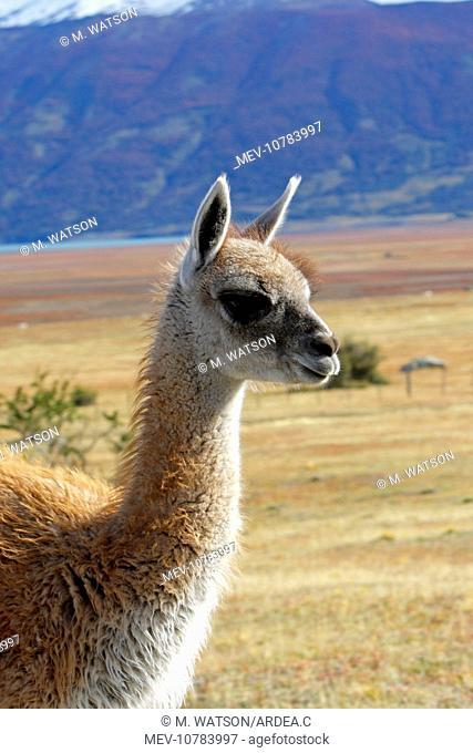 Guanaco (Lama glama guanicoe)