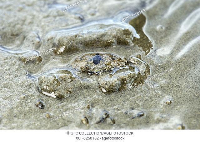 Bis zu den Augen in Sand eingegrabene Gemeine Strandkrabbe (Carcinus maenas) , Wattenmeer, Scheswig-Holstein, Deutschland / Common shore crab (Carcinus maenas)...