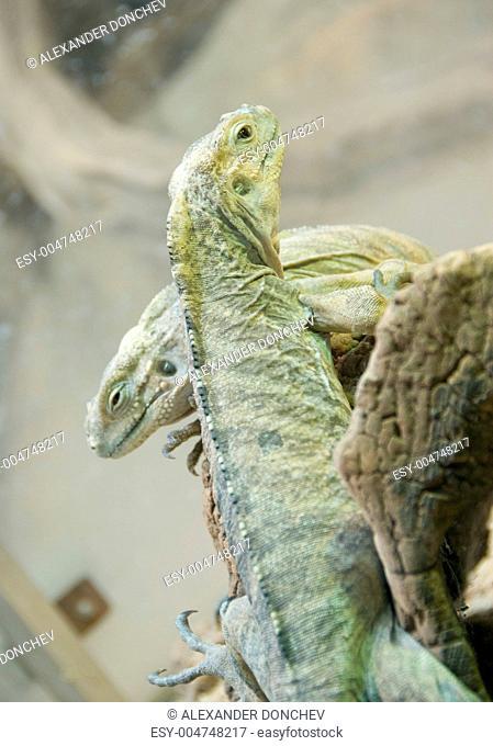 Climbing iguana