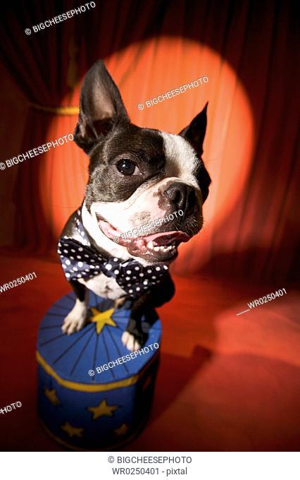 Boston Terrier wearing bow tie in spotlight