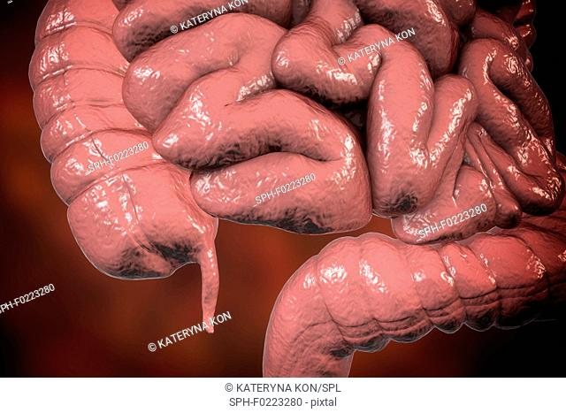 Human appendix, illustration