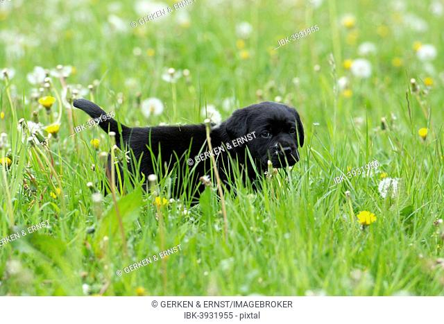 Black Labrador Retriever puppy walking through tall grass