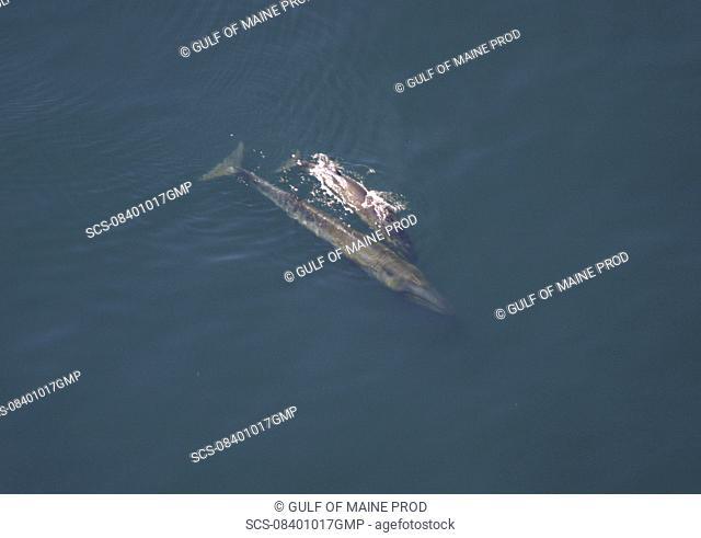 Aerial view of Sei whale Balaenoptera borealis with calf Gulf of Maine, USA rr