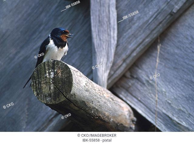 Barn Swallow (Hirundo rustica), calling, Eketorp, Island of Oeland, Sweden