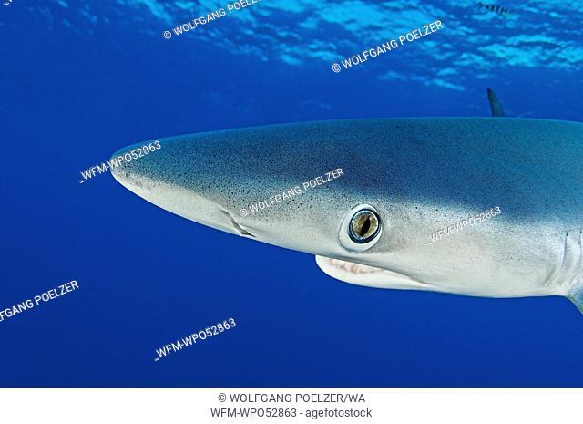 Blue Shark, Prionace glauca, Condor Bank, Faial, Azores, Atlantic Ocean, Portugal