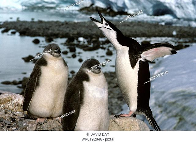 Adult chinstrap penguin sky pointing with 2 large fluffy chicks Pygoscelis antarctica Antarctica