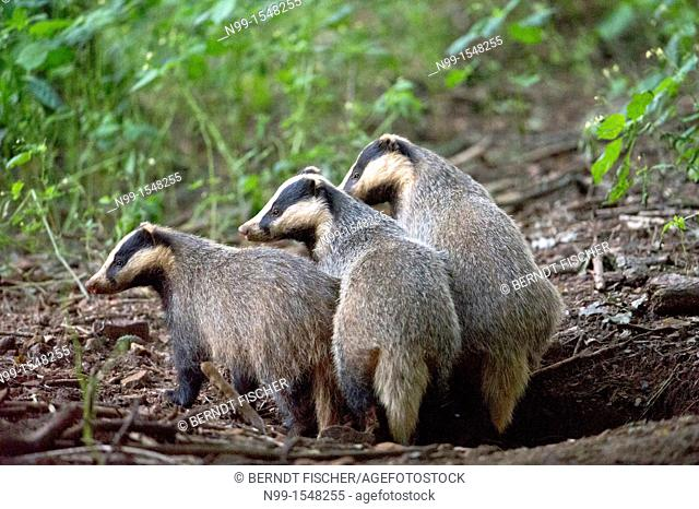 Badger Meles meles, three badgers coming out from den, Franconian Jura, Bavaria