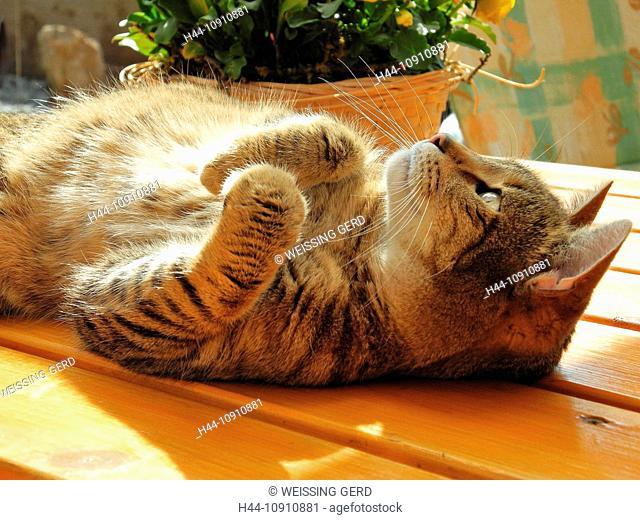 Animal, cat, pet, house cat, striped, stripy, lie, table, desk, sun, Germany