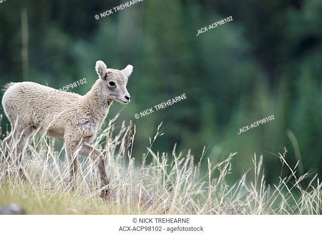 Lamb, Bighorn Sheep, Ovis canadensis, Rocky Mountains, Alberta, Canada