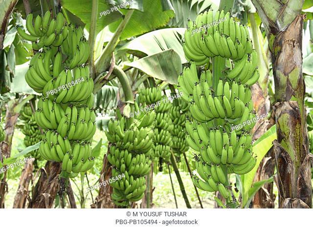 Banana plantation Bogra, Bangladesh August 2008