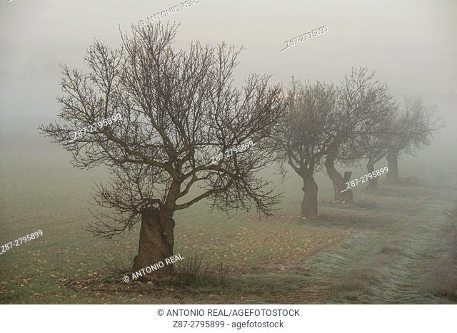 Trees in fog, Almansa, Albacete province, Castilla-La Mancha, Spain