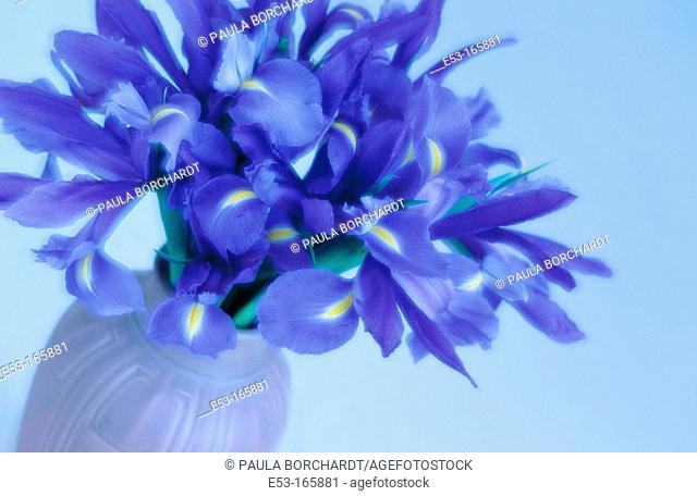 Purple iris in pottery vase
