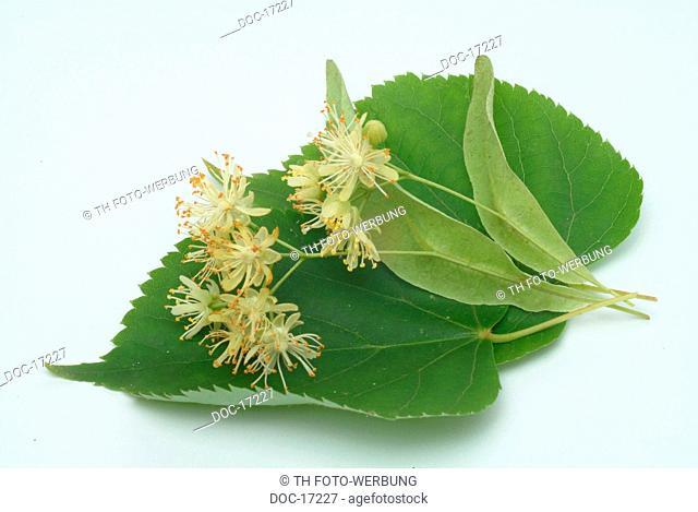 Lime - Lindentree - medicinal plant - medicinal use - Tilia cordata - platyphylla - Tiglio - pianta medizinale -
