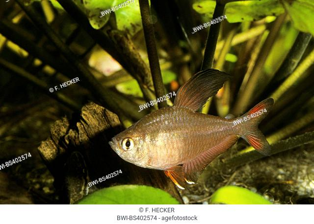 Rosy tetra, Ornate tetra (Hyphessobrycon bentosi), swimming