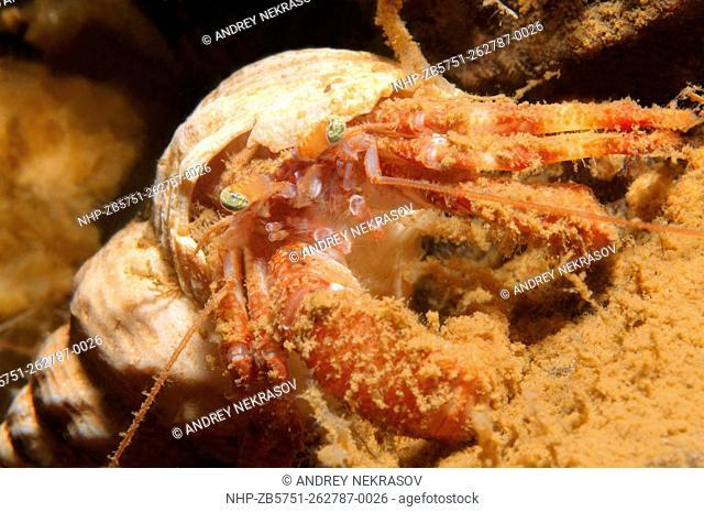 ommon marine hermit crab (Pagurus bernhardus) White sea, Karelia, Arctic, Russian Federation