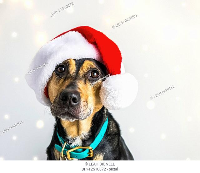 Dog wearing a Santa Claus hat for a Christmas portrait