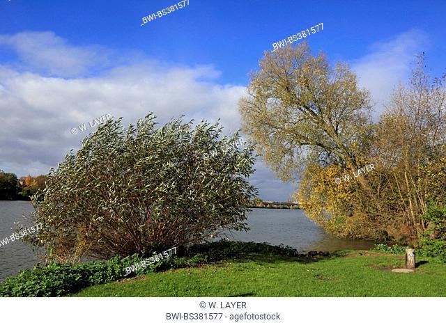 willow, osier (Salix spec.), flood plain of the Neckar in autumn, Germany