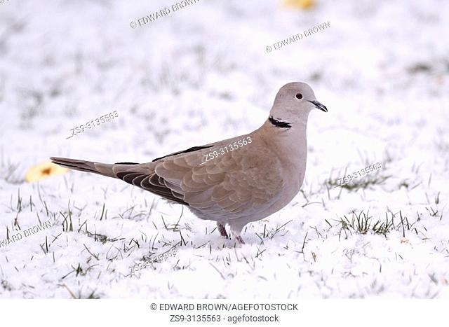 A Collared dove (Streptopelia decaocto) feeds on a snow covered lawn, East Sussex, UK