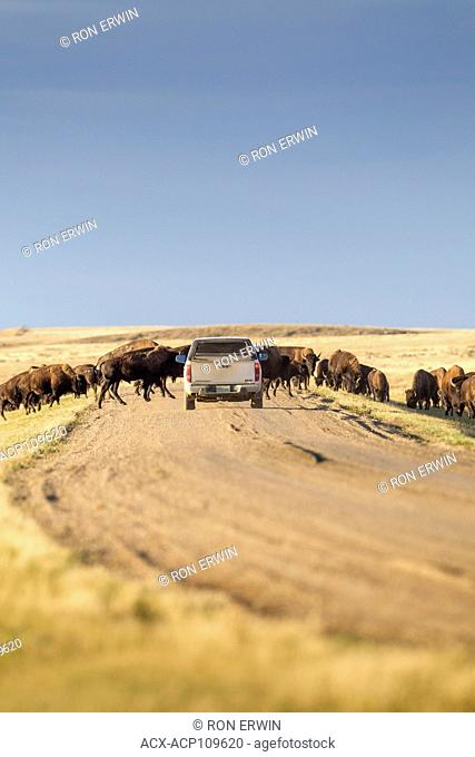Vehicle trying to pass a herd of Plains Bison (Bison bison bison) in Grasslands National Park, Saskatchewan, Canada - the Bison roam freely throughout the park