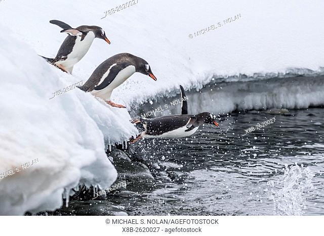 Gentoo penguins, Pygoscelis papua, leaping into the sea at Booth Island, Antarctica