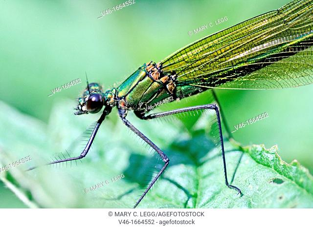 Western Demoiselle, Calopteryx xanthostoma, female  Mature female on grass  Metallic green damselfly with ruby tipped tail  Small white stigmata  male is...